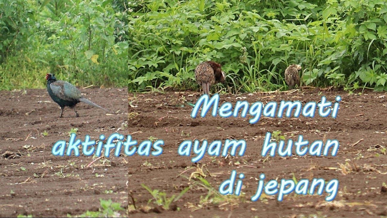 Mengamati aktifitas ayam liar di jepang