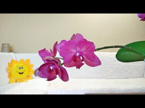 Особенная орхидея Монте Карло.
