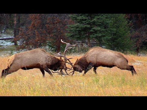 Largest Bull Meets His Match during the Elk Rut