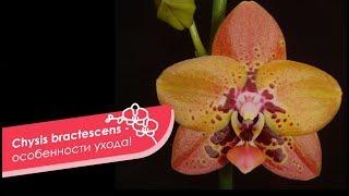 Орхидея Анаконда на выставке в Дрездене. Phal.Zeng Min Anaconda