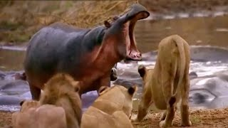 ► Lions Documentary - Full Documentaries National Geographic - Lion vs Hippo | HD