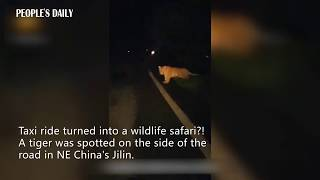 Taxi ride turned into wildlife safari?! Tiger was spotted on the roadside in NE China's Jilin.