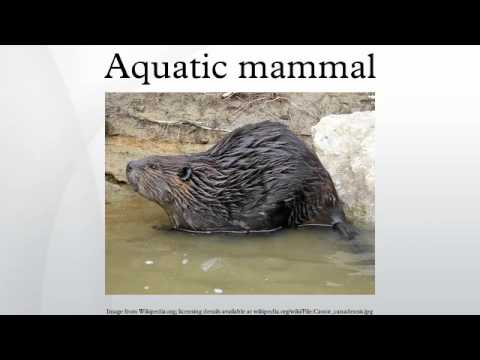 Aquatic mammal