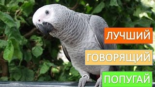 Попугай  жако. Покупайте  лучшего  говорящего  попугая  жако.
