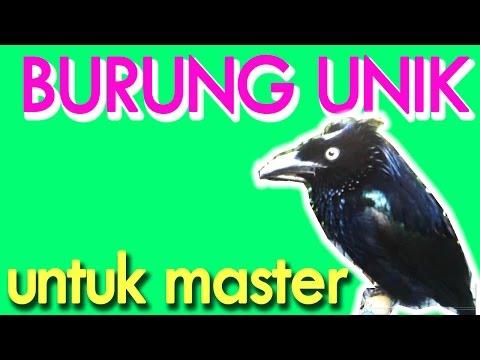 Burung Unik Untuk Master Kicauan