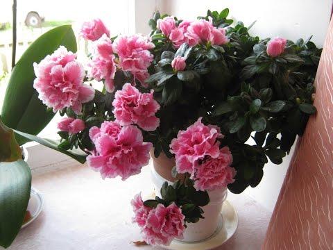 Комнатные цветы.  Азалия ( рододендрон, альпийская роза) Содержание и уход за Азалией.