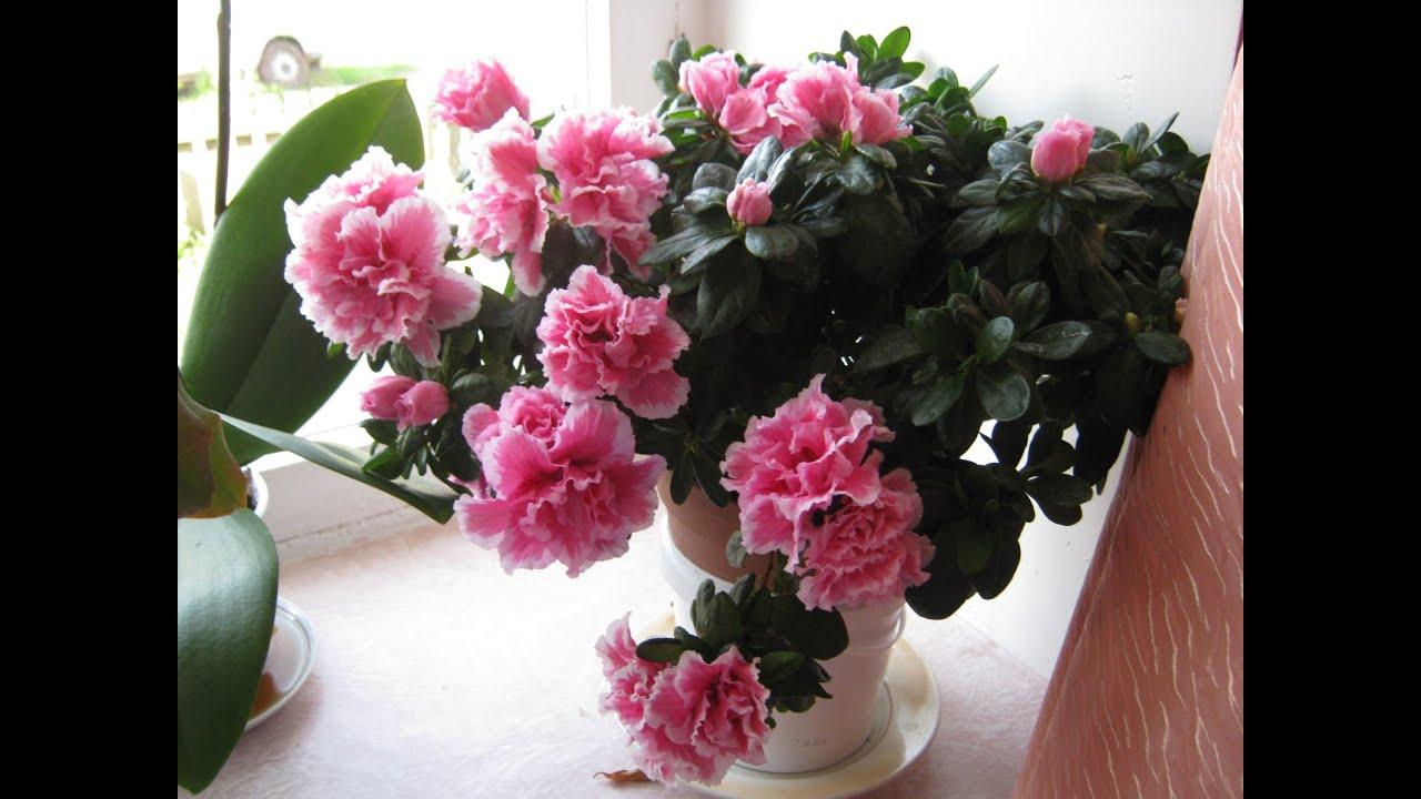 Комнатные цветы. Азалия ( рододендрон, альпийская роза ...