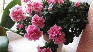 Комнатные цветы.  Азалия ( рододендрон, альпийская роза) Содержание и уход за Азалией.(Комнатные цветы. Азалия ( рододендрон, альпийская роза) Содержание и уход за Азалией. Уход за азалией не..., 2015-09-12T20:37:29.000Z)