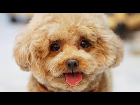 Standard Poodle - Toy Poodle - Poodle Puppy - Funny Poodles – Poodle Video Compilation #2