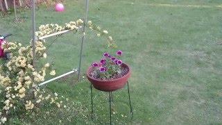 モッコウバラの育て方。素敵なお庭。 banksia rose nice garden 凄い動...