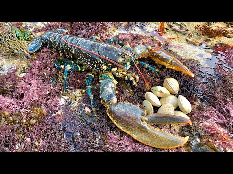 Coastal Foraging And Rock Pooling - Lobsters, Crabs And Clam Forage And Cook Up.