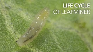 Life cycle of leaf miners