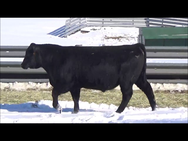 Connealy Angus Lot 133