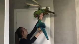 Gadające Papugi Ary. To sobie pogadali :), śmieszne :)