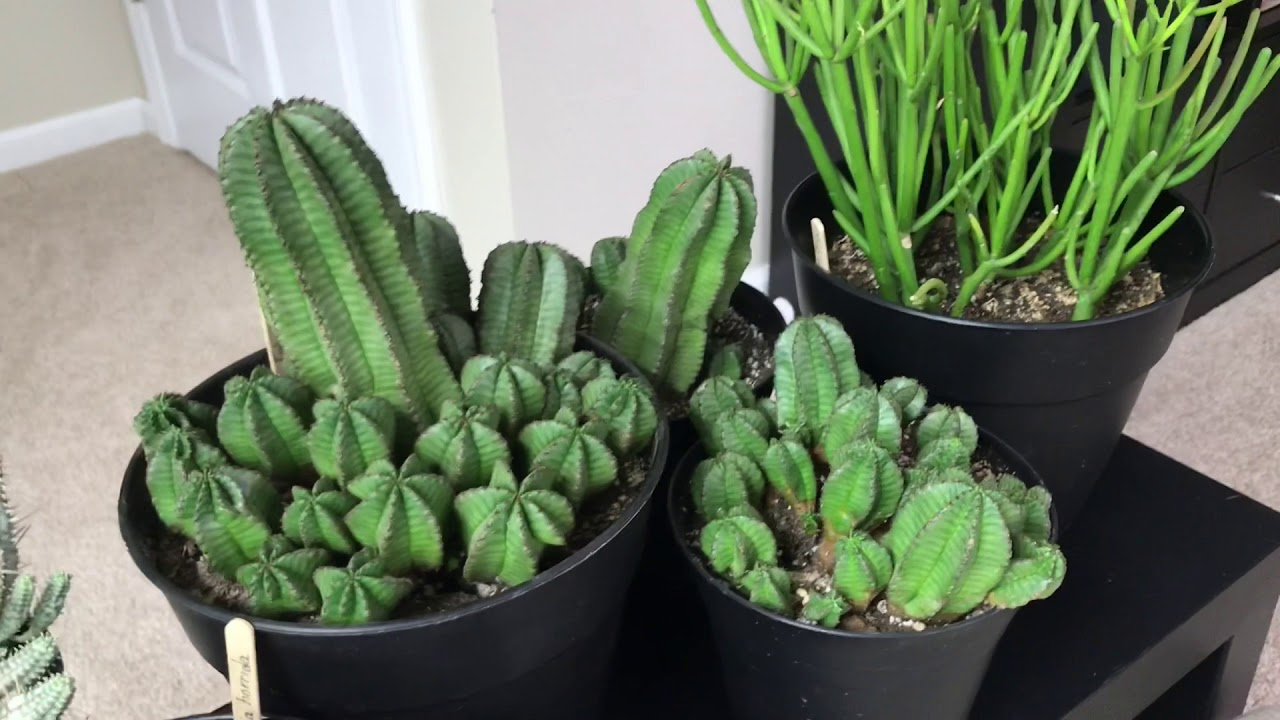 Tips For Care Of Euphorbias And Update Of My Euphorbia Collection