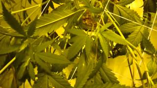 Train and Trellis your Cannabis Scrog Net