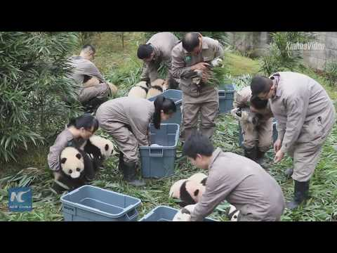 Adorable! Giant panda cubs born this year make their first public appearance