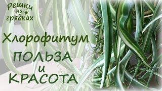хлорофитум - красивое, нетребовательное и очень полезное растение!