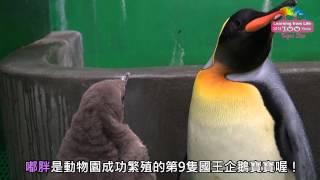 國王企鵝寶寶嘟胖亮相 父子如影隨行感情超好 Meet King Penguin Family