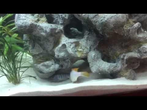 African Cichlids Shaking