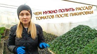 Пикировка рассады томатов в стаканы - когда и как это делаем!