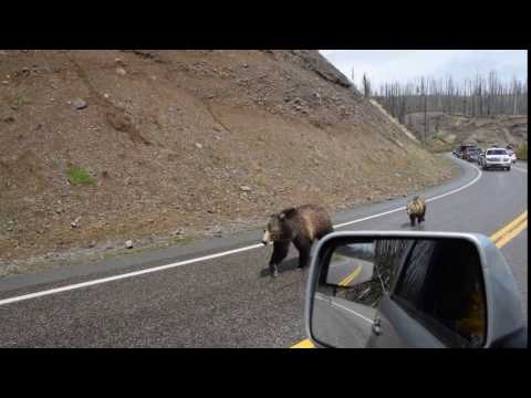 Mother grizzly bear and her cub V1972 May 27, 2016 Yellowstone