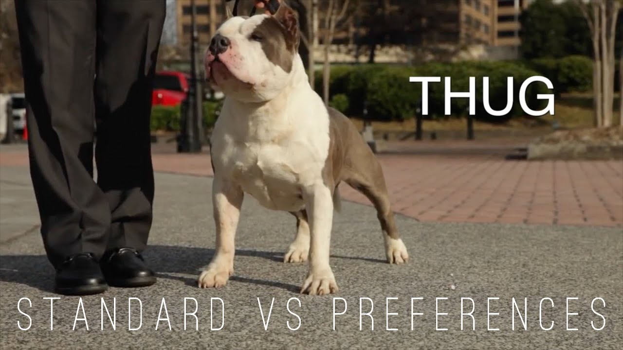 American Bully Standard Vs Preference In The Show Ring