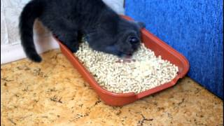 Шотландский котенок и лоток