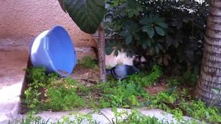 Funny Cat And Pigeon Fight!
