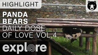 Daily Dose of Cute Panda Love, Volume 4 - Live Panda Bear Highlights