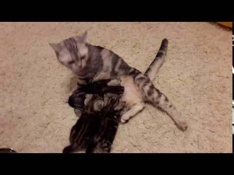 Продаются шотландские мраморные котята.