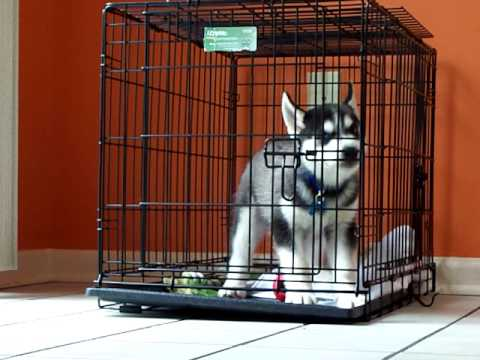 siberian-husky-puppy-hates-his-crate