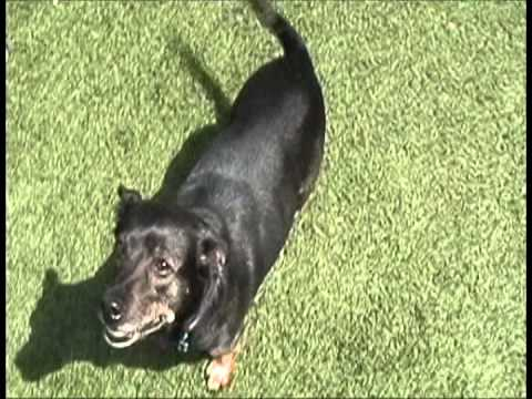 Meet Taz a Dachshund Standard Smooth Haired currently available for adoption at Petango.com! 4/21/2