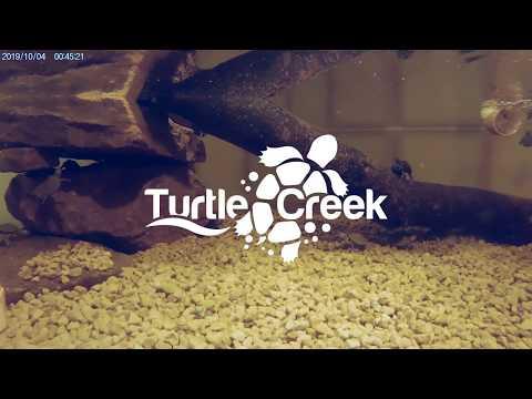 Reeve's Turtle | False Map Turtle | Turtle Tank Setup