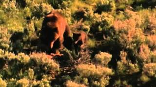 Wyoming Wildlife TV #2--Wolves and Grizzly Bears
