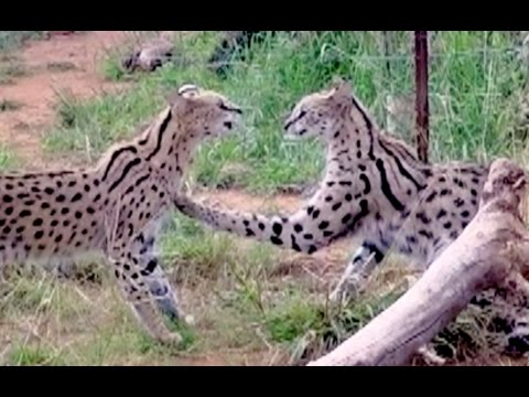 The Serval Ballet Dance | Africa Wild Cats Settle Dispute Through Animation  Rather Than A Fight