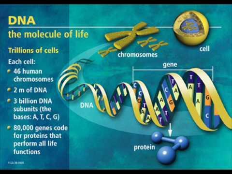 The Left-handed Gene