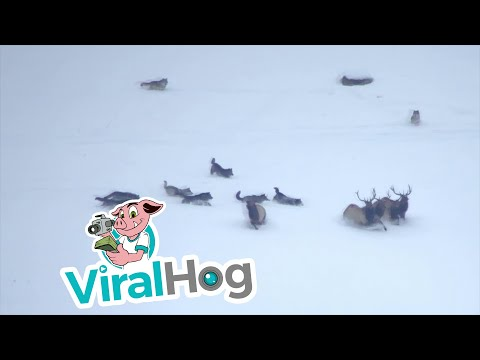 Wolf Pack Gives Chase to Group of Elk || ViralHog