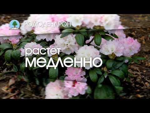 "РОДОДЕНДРОН. Питомник ""Сады Урала"""