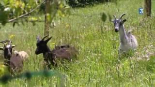 Eco-pâturage  des moutons et des chèvres au parc Cure d'Air de Nancy