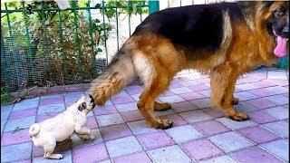 Super Смешной Щенок Мопса и Немецкая овчарка. Amazingly funny pug puppy and German shepherd.