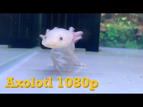 Axolotl Mexican Walking Fish At Cainz Pet Shop In Japan Exotic Marine Animals By Tkviper.com