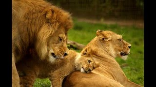African Lions Becoming Extinct
