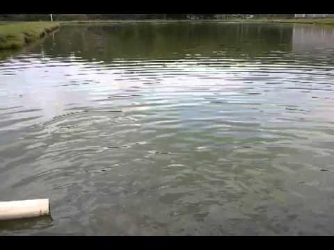Peces en estanque de tierra youtube for Cria de mojarra roja en estanques