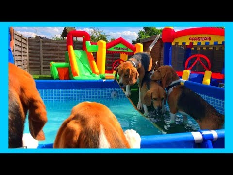 PUPPY GOES CRAZY AT HIS FIRST BEAGLE POOL PARTY!