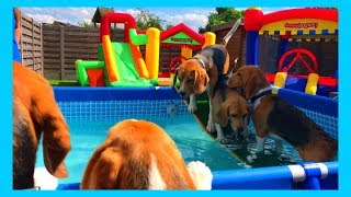 Funny Dogs Having a Pool Party : Cute Beagle Louie
