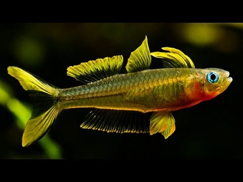 Forktail Blue-Eyed Rainbow Fish (Up-Close)