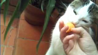 gato comiendo fruta de zapote muy tierno
