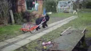 Newfoundland Dogs Freestyle Carting