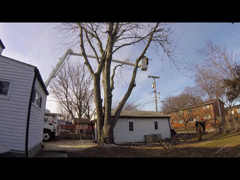 Silver maple removal St Clair Shores MI